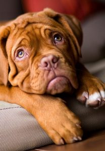 mastiff-puppy-eyes-dogvacay