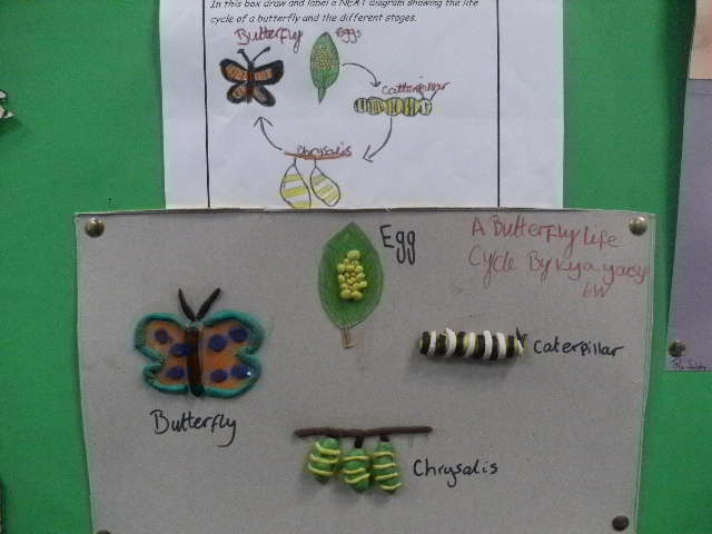 Life cycle of butterfly model - photo#7